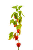 Physalis plants or Chinese Lantern Plants. In Latin Physalis alkekengi- on the branch. Closeup view of Physalis plant. Early autumn view of flowering Physalis Royalty Free Stock Photo