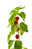 Physalis plants or Chinese Lantern Plants. In Latin Physalis alkekengi- on the branch. Closeup view of Physalis plant. Early autumn view of flowering Physalis Stock Photo