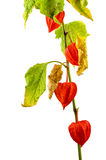 Physalis plants or Chinese Lantern Plants. In Latin Physalis alkekengi- on the branch. Closeup view of Physalis plant. Early autumn view of flowering Physalis Stock Photos