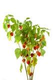 Physalis plants or Chinese Lantern Plants Stock Image