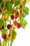 Physalis plants or Chinese Lantern Plants Stock Photography