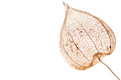Physalis pod Stock Photos
