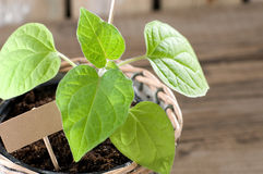 Physalis seedling with cardboard and copy space Royalty Free Stock Image