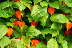 Physalis texture plant Royalty Free Stock Photo