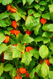 Physalis texture plant Stock Photography