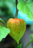 Physalis - tomatillo Royalty Free Stock Images