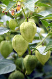 Physalis - tomatillo Royalty Free Stock Photo