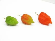 Physalis trois coloré Images stock