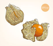 Physalis vector sketch, color. Royalty Free Stock Image