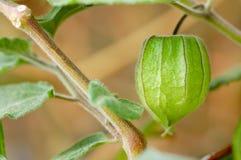 Physalis verde Imágenes de archivo libres de regalías