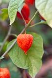 Physalis vermelho no verde Fotografia de Stock