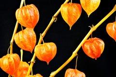 Physalisen är örtartad värme-älska växten, som en pappers- lykta på en svart bakgrund royaltyfria foton