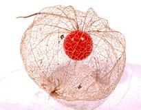 Physalisfrucht (goosberry) Stockfotografie