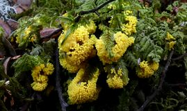 Physarum polycephalum. (Slime mound) Royalty Free Stock Image