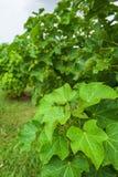 Physicmutter och att rena mutter- eller Barbadose mutterJatrophacurcas L åkerbrukt lantbruk, fruitage i träden Grönsakoljaförädli arkivbilder