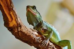 Physignathus cocincinus. Agama on tree branch Stock Image