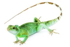 physignathus de cocincinus Photo stock