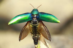 Physiology of Insects. Elephant gray, with black wings and beetle larvae. Dark green scarab The wings are pale gray In the feature, Interview with wings spread royalty free stock images