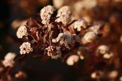 Physocarpus diabolo - a beautiful branch. Stock Photography