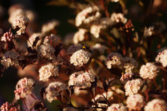 Physocarpus diabolo - in bloom. Physocarpus kalinolistny Diablo ('Diabolo'). Spreading shrub to a height of about 3 meters with dark purple leaves. If Royalty Free Stock Photos