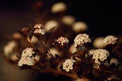 Physocarpus diabolo - branch. Royalty Free Stock Photo