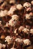 Physocarpus diabolo. Stock Photo