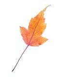 Physocarpus opulifolius结构树的叶子 免版税库存图片