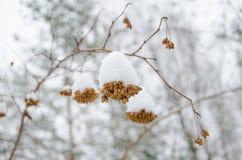 Physocarpus opulifolius Arkivbilder