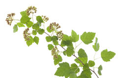 Physocarpus opulifolius Stock Photo