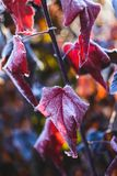 Physocarpus. Purple ninebark Physocarpus `Diabolo` in frost, selective focus, low depth of field Stock Image