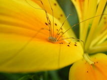 Physocyclus on the lily. Physocyclus on the yellow flower in a garden Stock Photography
