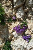 Physoplexis Comosa and Campanula Royalty Free Stock Images