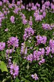 Physostegia virginiana(Virginia lion`s heart). Spectacle of summer afternoon when butterflies smoke honey in full flower bed in the park Virginia lion`s Royalty Free Stock Images