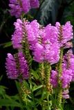 Physostegia virginiana,服从的植物 库存照片