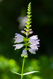 Physostegia virginiana Stock Image