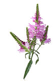 Physostegia Virginiana Stock Images