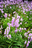 Physostegia virginiana flower Stock Photo