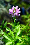 Physostegia Virginiana Rosea Royalty Free Stock Images