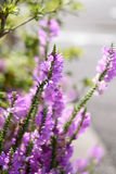 Physostegia virginiana Stock Photography