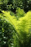 Phyta för ormbunkePolypodià ³ - de äldsta högre växterna som syns omkring 405 miljoner år sedan i den Devonian perioden av det Pa royaltyfri foto