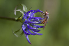 Phyteuma michelii zdjęcia royalty free