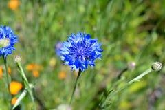Phyteuma Orbiculare Wildflower op een Gebied Royalty-vrije Stock Foto's