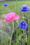 Phyteuma Orbiculare Wildflowers en Roze Papaver Royalty-vrije Stock Foto