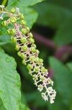 Phytolacca americana Stock Photo