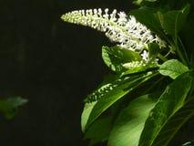 Phytolacca brilhante Foto de Stock Royalty Free