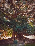 Big ombu tree in the park royalty free stock images