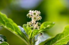 Phytolacca esculenta in bloei, witte kleine bloemen op één stam royalty-vrije stock foto's