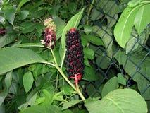 Phytolacca esculenta met vruchten stock foto