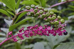 Phytolacca flower. Or arborea turkish grapes Royalty Free Stock Image