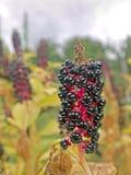 Phytolaccaacinosa Royaltyfria Bilder